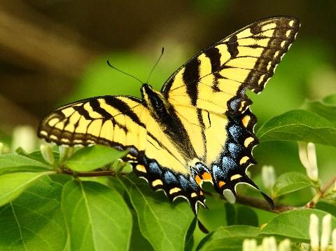 F - yellow swallowtail