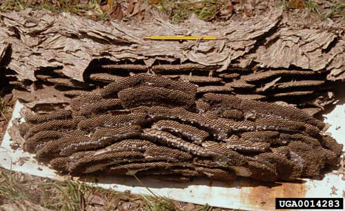 yellowjacket nest dug from ground