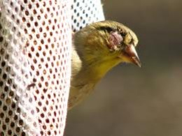 goldfinch with conjunctivitis