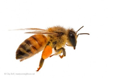 claybolt_ilcp_native_bees2-600x408