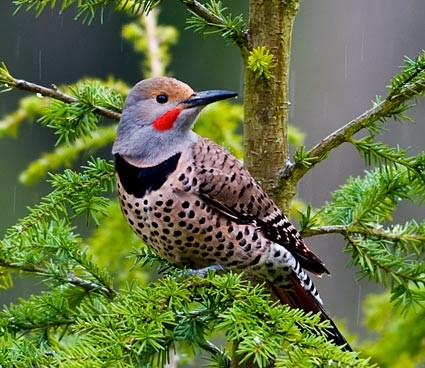 northern_flicker_3
