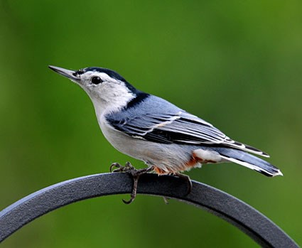 white_breasted_nuthatch_7