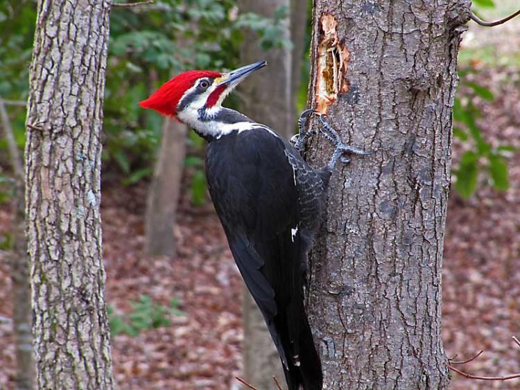 pileated-woodpecker-male_1421_web1