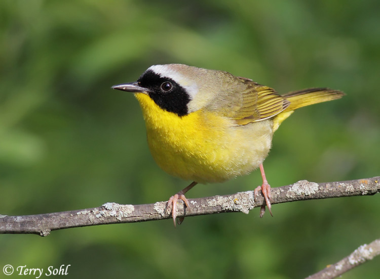 Common Yellowthroat May 26th, 2011 Beaver Creek Nature Area, SD Canon 50D, 400 5.6L