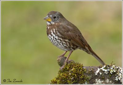 Fox-Sparrow-139