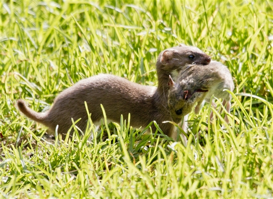 weasel-with-mouse-small.jpg-550x0