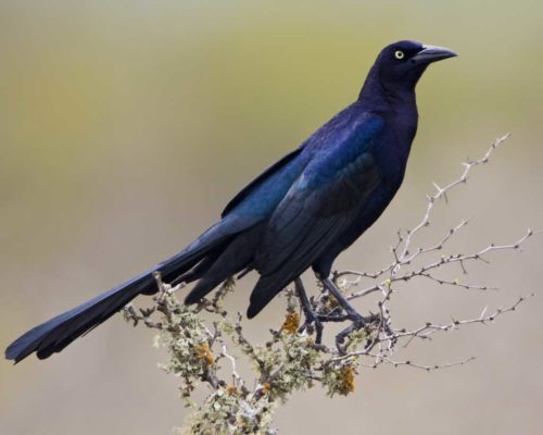 Great-tailed_Grackle_