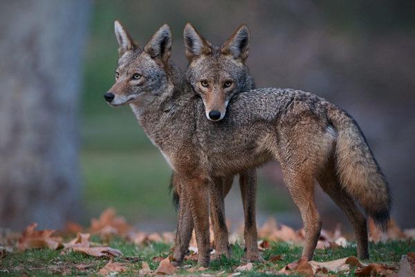 cali_coyotes_11